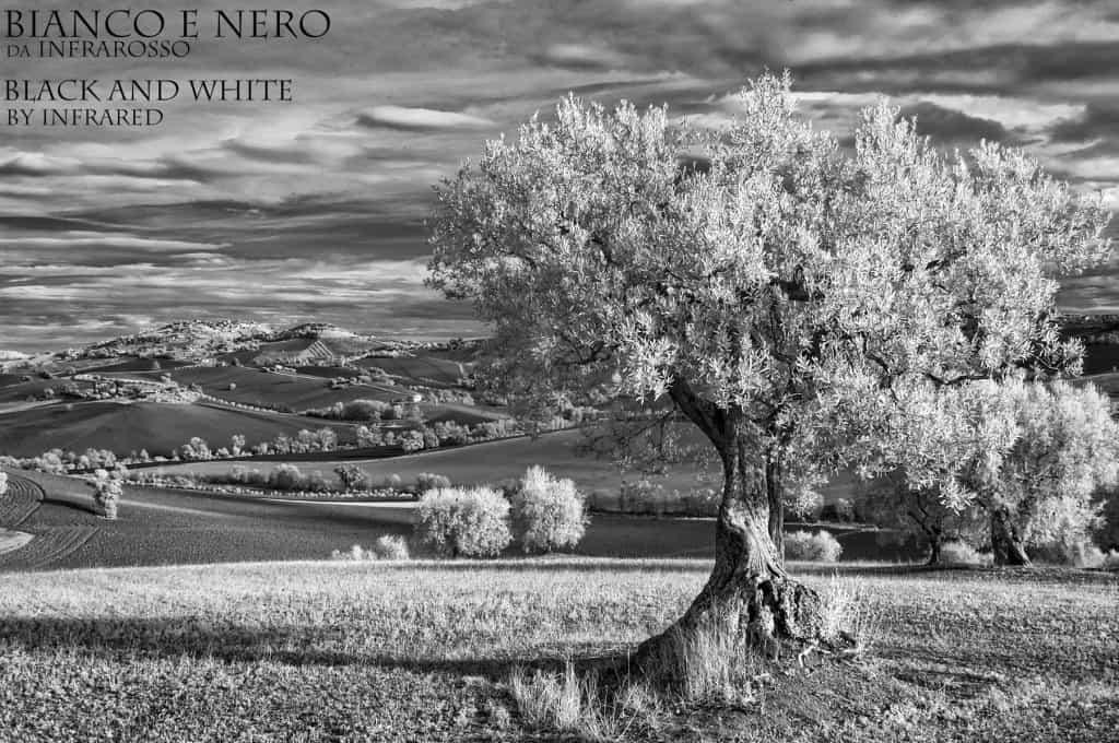 Ulivo Montelupone  Bianco e Nero dell'Infrarossoa